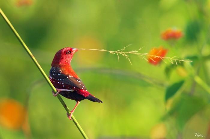 Red Avadavat Male. Photo by: Riaz Khan