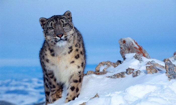snow leopard pakistan